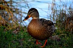 Duck (Look @ Life) Tags: animal swim duck schwimmen ente geflgel