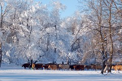 Published in the Manitoba Co-operator (front cover shot) (Jeannette Greaves) Tags: winter snow frost cows hoarfrost hugh jeannette 2016 greaves jspubpic xmasday2015 rlfarmpasture