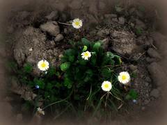 Le margheritine di dicembre... (civetta delle nevi) Tags: terra allaperto margheritine