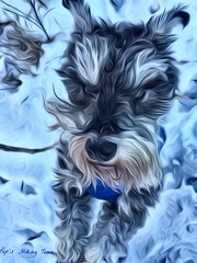 Selfie Pep (Pep's Hiking Team) Tags: dog snow hiking schnauzer 2016 traildog wildernessdogs adventuresniffer