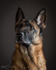 Sheba studio shot (Primal Pixels) Tags: dog nikon shepherd german alsatian gsd d4 sigma105mm strobist dognikond4germanshepherdstudiostrobistgsdsigma105mm