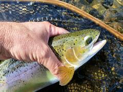 P1020291-2.jpg (Upstate Dave) Tags: activity catskills delawareriver fish fishing flyfishing mainstemdelawareriver newyorkstate rainbowtrout trout 2015