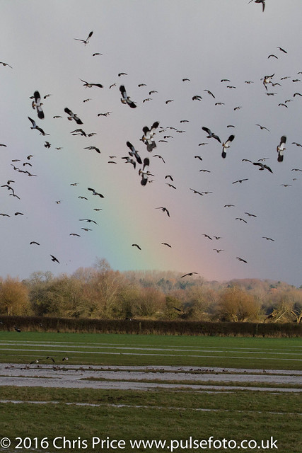 Lapwing and rainbow, WWT Slimbridge