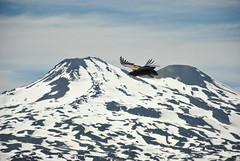Condor en vuelo (vikylandia) Tags: chile del de nikon laguna condor montaa chillan nevados huemul