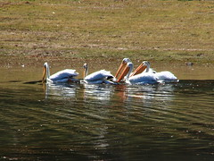 Pelicans on Jackson Lake - Grand Teton National Park, Wyoming (danjdavis) Tags: bird nationalpark wildlife pelican wyoming grandtetonnationalpark jacksonlake