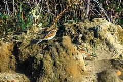 Bruant zizi (Emberiza cirlus) (yann.dimauro) Tags: france animal fr extérieur oiseau rhone rhônealpes ornithologie montagny