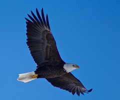Freedom Flight (Scott M. Mohn) Tags: winter bird minnesota closeup flying eagle sony predator birdofprey flyby ilca77m2