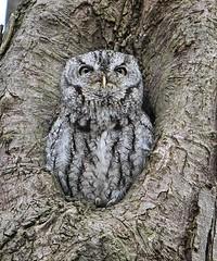 2 (JBOTCH) Tags: park national raptor valley owl cuyahoga eastern raptors owls screech