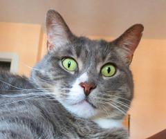 Maurice dit Le Momo (merlinprincesse) Tags: cat momo chat kitty gato gatto katzen katz gattini lemomo