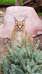 Billy (International Exotic Animal Sanctuary) Tags: christmas tree animal international exotic serval caracal enrichment sanctaury ieas