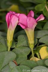 Oxalis purpurea L. (Lus Gaifm) Tags: flower macro planta nature natureza flor plantae fo suring bonana oxalispurpurea purplewoodsorrel beijosdefrade grandduchesssorrel lusgaifm pnlitoralnorte
