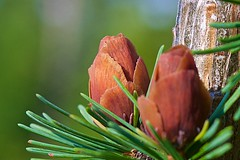 Tamarack Cones (Distant Hill Gardens) Tags: cone larch tamarack conifer americanlarch larixlaricina easternlarch