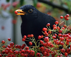 are you going to sing me a sad song or stuff your face all day? (ifido) Tags: red black berry berries blackbird