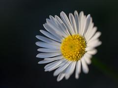 Beach daisy (JenniferChadwick) Tags: flowers macro home