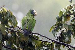 Cotorra de La Española (Amazona ventralis) - Hispaniolan Parrot (Dax M. Roman E.) Tags: republicadominicana pasobajito lasal cordilleracentral amazonaventralis reservacientificaebanoverde hispaniolanparrot rcev endémicadelaespañola cotorradelaespañola