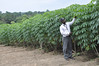 Researcher inspecting cassava plants in a field (IITA Image Library) Tags: cassava iita manihotesculenta weedscienceproject