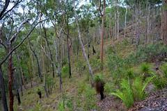 Canungra sandstone woodland (dustaway) Tags: trees woodland landscape sandstone australia queensland hillside australianlandscape canungra sequeensland forestscape darlingtonrange