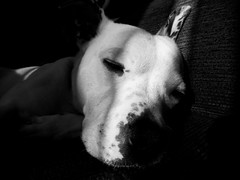 Black and white dog portrait (michaelwhitefoot) Tags: portrait blackandwhite dog staffie