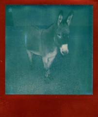 donkey morning (EllenJo) Tags: red arizona polaroid donkey az burro 600 wandering verdevalley clarkdale thealley 2016 instantfilm january27 clarkdalearizona ellenjo colorframe ellenjoroberts impossibleproject theimpossibleproject