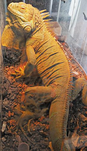 pet sun lamp stone reptile crest lizard godzilla iguana heat zilla gojira