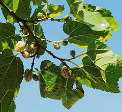 white mulberry 1 (Bill Kirby1) Tags: summer plant france mas languedoc 2015 dastruc