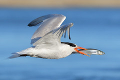 Passing by... (bmse) Tags: fish canon fishing chica l elegant f56 bolsa tern salah 400mm wingsinmotion 7d2 bmse baazizi