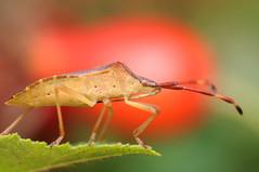 Plant Bug (-denju-) Tags: macro bug insect diy flash beetle handheld makro insekt diffuser wanze käfer photomacrography raynoxdcr250 nikond90 tamron60mm meikemk300