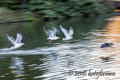 Gulls Chase Mallard (katejbrown photography) Tags: sanfrancisco goldengatepark nature birds duck wildlife gulls motionblur chase mallard stowlake katebrown katejbrown