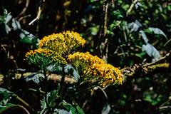 Barva Volcano (cataava) Tags: flowers flower green nature yellow forest volcano nationalpark nikon costarica barva