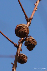 Project 366  - Day 66 - Special Cones (thegardenshutterbug) Tags: metasequoia glyptostroboides dawnredwood project366