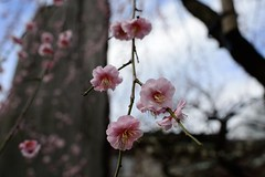 Ume blossom, Spring has come! (Yasuz) Tags: flower nature spring nikon shrine blossom 28mm nikkor  ume yushima  2016  28mmf28ais nikondf