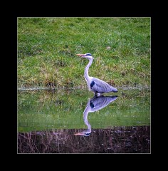 Heron reflection (tkimages2011) Tags: park reflection bird heron water grass olympus sankey valley sthelens merseyside em10