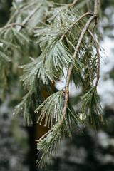 Winter 2016 (Dan | Hacker | Photography) Tags: trees winter ice weather outdoors durham 85mm northcarolina freezingrain 2016 kodakektar vsco vscofilm07