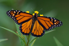 Counting the days (KsCattails) Tags: orange black macro butterfly insect nikon outdoor monarch kansas milkweed migrating overlandparkarboretum d3100 kscattails