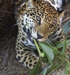 Jaguar Brevard Zoo Fla. Florida  big cat (watts_photos) Tags: food cat canon zoo big feeding florida eating bigcat jaguar fla carnivore brevard