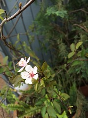 IMG_8020 (caligula1995) Tags: iphoto plumtree iphone sapling plumflower 2016