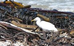 Intermediate Egret, Betty's Bay, South Africa (robin denton) Tags: bird nature southafrica wildlife shoreline kelp shore seashore egret bettysbay mesophoyxintermedia intermediateegret