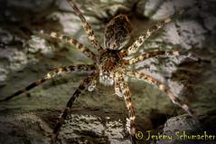 Banded Fishing Spider (Jeremy Schumacher) Tags: macro nature animal spider fishing nikon wildlife arachnid 40mm arthropod banded dolomedes albineus d5000