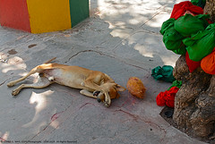 """""""LIKE THE DOG THAT GOT A COCONUT"""" .    (GOPAN G. NAIR [ GOPS Photography ]) Tags: dog animals photography funny with coconut clueless helpless gops gopan gopsorg gopangnair gopsphotography"""