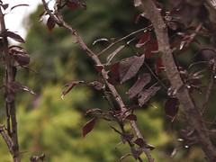 lluvia (Litswds) Tags: verde planta lluvia rojo rbol oscuro bordo ramas