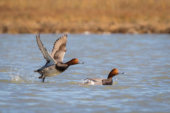 Launch Footage (gseloff) Tags: bird texas wildlife redhead lamar drake saltmarsh kayakphotography stcharlesbay gseloff
