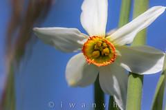 Narcissus poeticus (iwanvh) Tags: art nature flora artist photographer biodiversity iwan photographe naturalist naturaliste environement narcissuspoeticus iwanvh vanhoogmoed wwwiwanvhcom