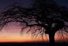 Dabo (patkal51) Tags: silhouette contrejour skylight coucher de soleil arbre tree sun dabo tordu eos650d canon sky colors baum bleu violet rose blue pink nuages clouds
