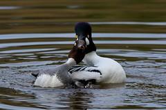 Pas de deux (Adam Wang) Tags: bird nature duck wildlife mate goldeneye