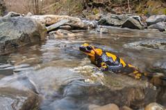 Live bearing of a fire salamander (Salamandra salamandra) (Federico Crovetto - www.federicocrovetto.it) Tags: ngc amphibian autofocus amphibia caudata salamandrasalamandra firesalamander greatphotographers nikonflickraward