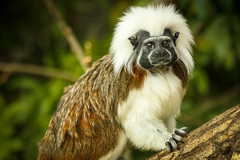 Cotton-top Tamarin (catherinexprior) Tags: animals zoo top wildlife cotton marwell tamarin cottontop tamarins