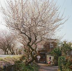 (TKBou) Tags: blossom    plum