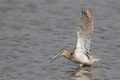 Long-billed Dowitcher - Pennsylvania (Geoff Malosh) Tags: unitedstates adult pennsylvania longbilleddowitcher longbilled dowitcher crawfordcounty billstretch basicplumage wingstretch millerponds