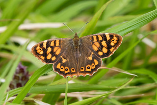 Canary Speckled Wood - Pararge xiphioides