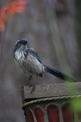 IMG_3271 (armadil) Tags: bird birds backyard jay jays scrubjay scrubjays